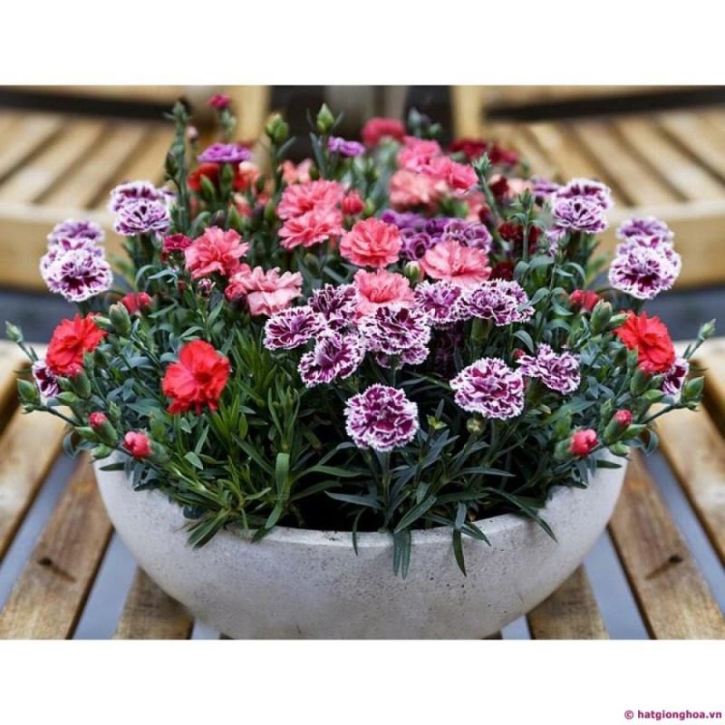 Combo 2 gói Hạt giống hoa Cẩm Chướng kép cao Mix (cao: 70-100 cm)