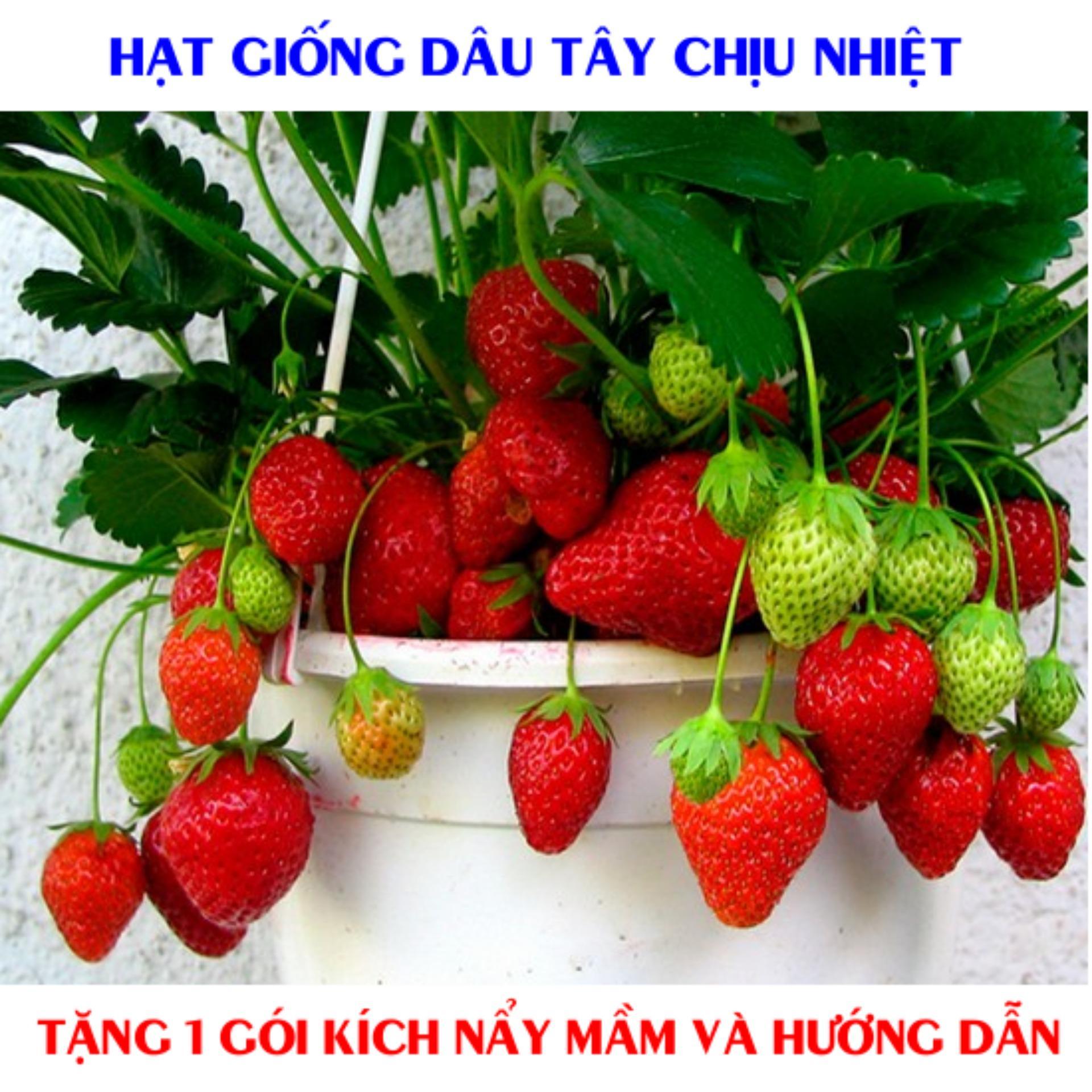 Hình ảnh Gói 100 Hạt giống Dâu Tây đỏ Quả To, Chịu Nhiệt (tặng gói kích nẩy mầm và hướng dẫn)