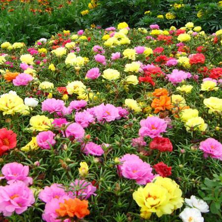 Hình ảnh Gói 100 Hạt giống hoa Mười giờ nhiều màu (tặng gói kích nẩy mầm và hướng dẫn)