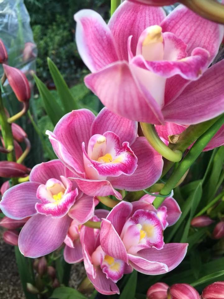 Hình ảnh Củ hoa địa lan santo hoa màu hồng