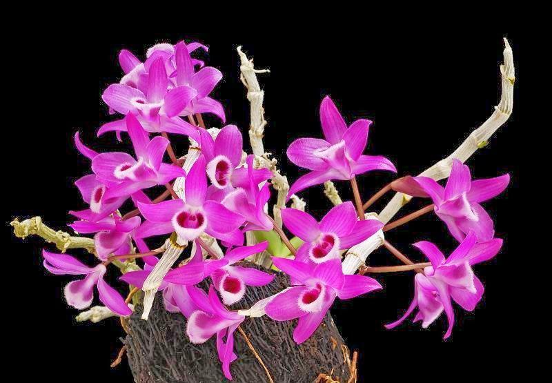 2 khóm Cây giống hoa lan rừng Trầm đang nhú mầm nhú nụ hoa