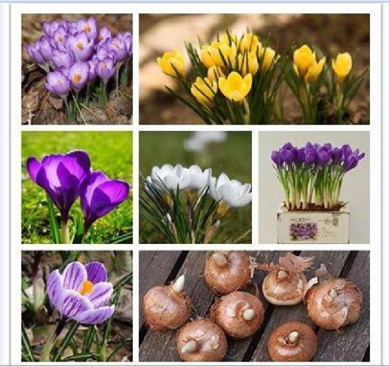 Combo 5 củ hoa nghệ tây 5 màu hoa ( tặng kèm 5 viên nén ươm củ )