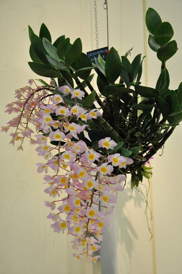 1 khóm cây hoa Lan Kiều Hồng - tím  tươi tốt
