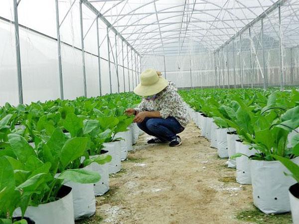 Bộ 20 túi trồng dưa lưới trồng rau trồng gừng PE chuyên dùng 17x33cm