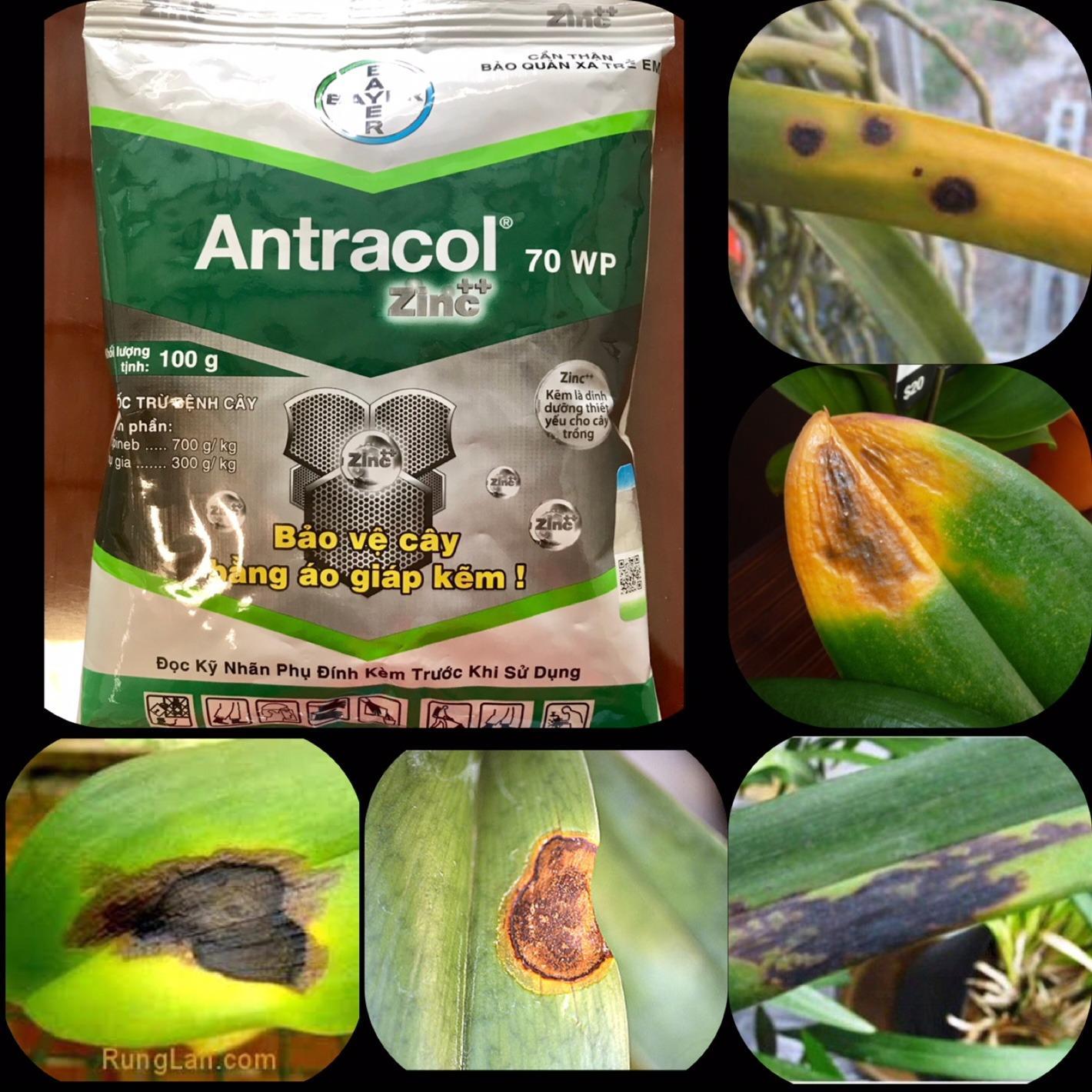 Hình ảnh Gói 100gram thuốc trị thán thư trên Phong Lan ANTRACOL 70WP