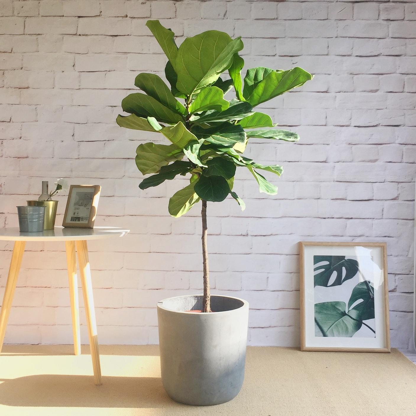 Cây bàng Singapore là loại cây được sử dụng chủ yếu bởi màu sắc đẹp của lá, khi lá phát triển sẽ cho bạn mảng xanh dễ chịu ngay trong nhà, ...