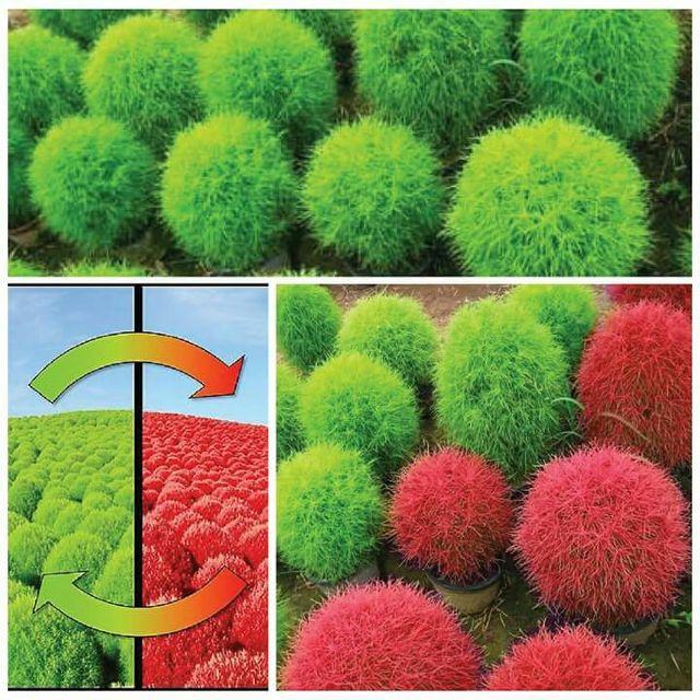 Gói 50 Hạt giống Cỏ đổi màu Kochia (tặng gói kích nẩy mầm và hướng dẫn)