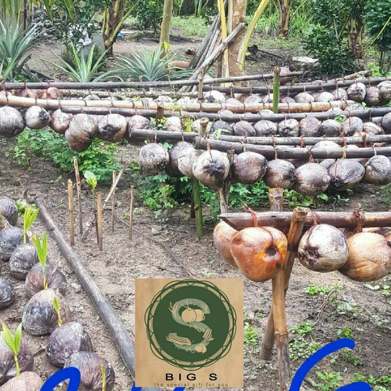 Cây Giống Dừa Sáp Combo 02 cây
