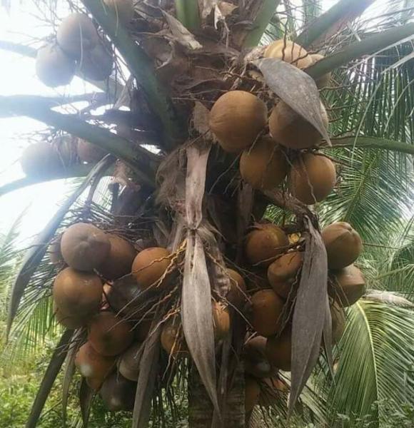 Dừa Sáp Giống Trà Vinh combo 10 cây