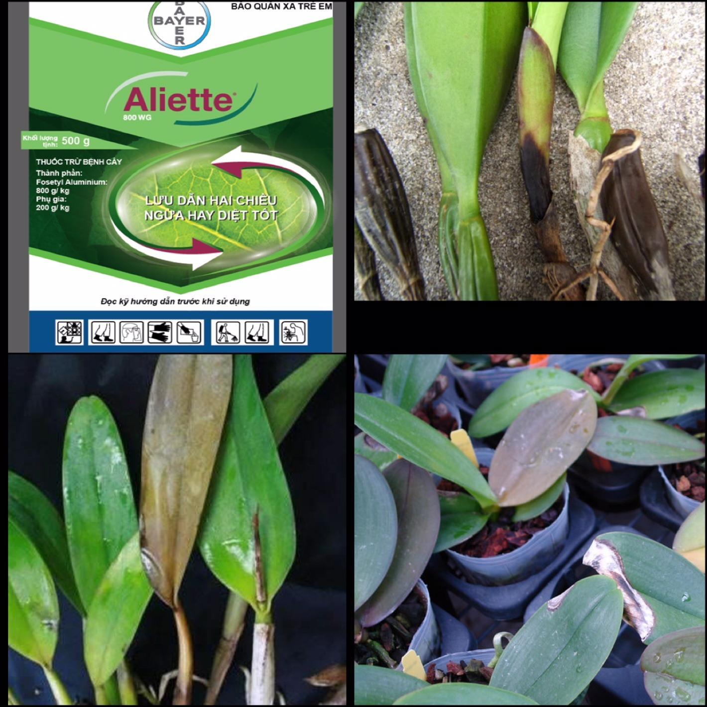 Hình ảnh Gói 100g thuốc đặc trị Vi Khuẩn hại Phong Lan, hoa kiểng ALIETTE 800WG