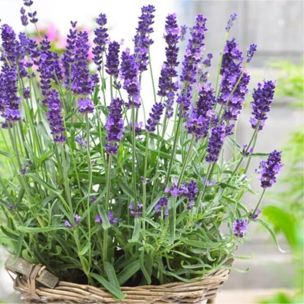 Hình ảnh Gói 50 Hạt giống Hoa Oải hương (tặng gói kích nẩy mầm và hướng dẫn)