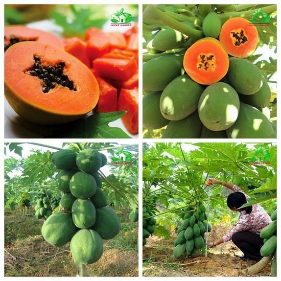 Hình ảnh Gói 5 Hạt giống Đu đủ Lùn siêu trái (tặng gói kích nẩy mầm và hướng dẫn)