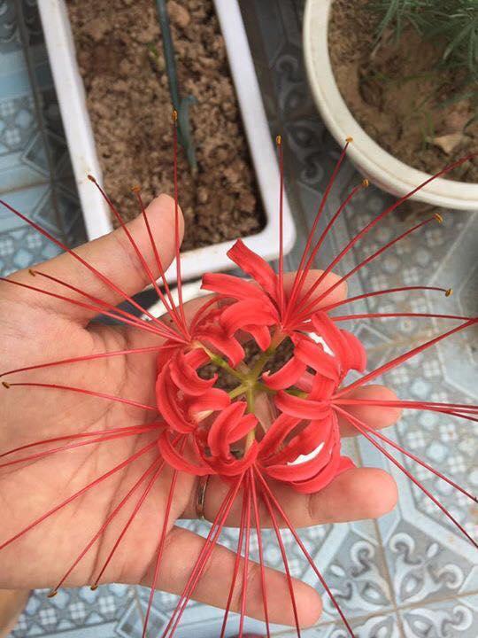 Củ giống hoa bỉ ngạn mix (4 củ : trắng , hồng, đỏ , vàng + 4 viên nén ươm ươm củ )
