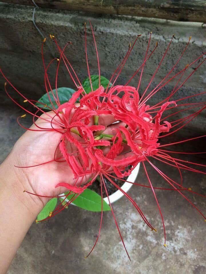 Củ hoa bỉ ngạn hoa màu đỏ (tặng kèm 1 viên nén ươm củ hoa )