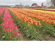 Ảnh decal bóc dán Hoa Tulip Angelique