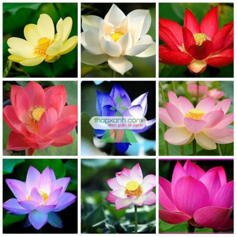 Bộ 10 Hạt giống hoa Sen Nhật mini (5 màu)