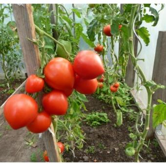 Bộ 3 gói hạt giống Cà chua trái tim - Tặng kèm 3 viên nén kíchthích nảy mầm