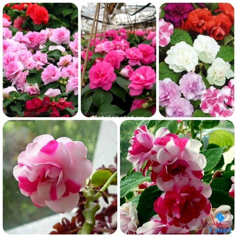Combo 2 gói Hạt giống hoa Ngọc Thảo (Mai Địa Thảo) kép Mix