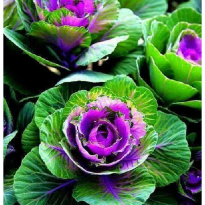 Hạt giống bắp cải hoa hồng Mỹ 15 hạt