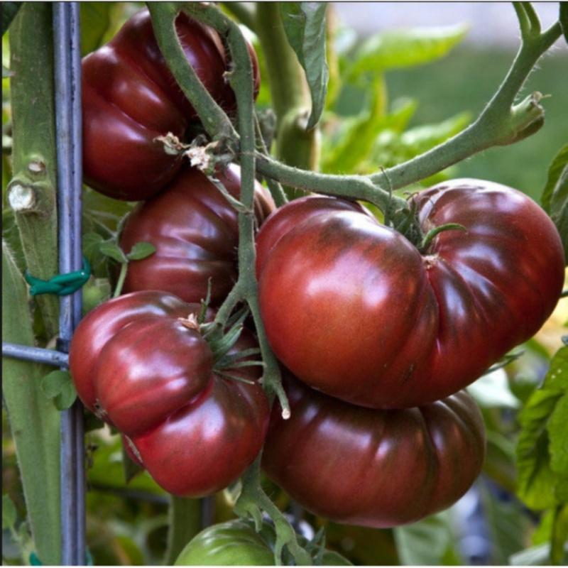 Hạt giống Cà chua bi sô cô la F1