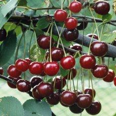 Hạt giống cây cherry đỏ (Anh đào)VH1987