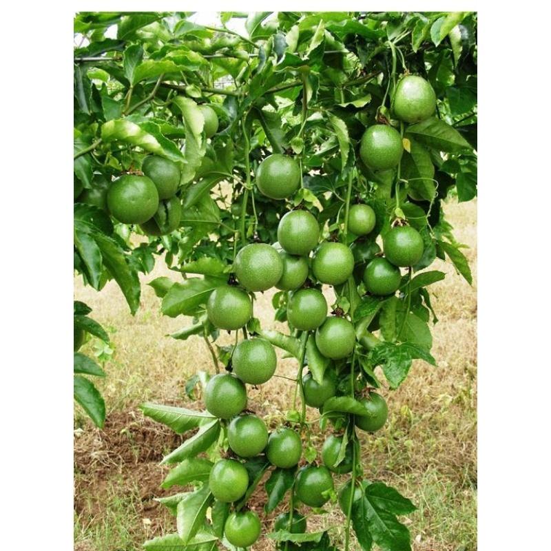 Hạt giống Chanh leo sai quả hợp với khí hậu Việt Nam