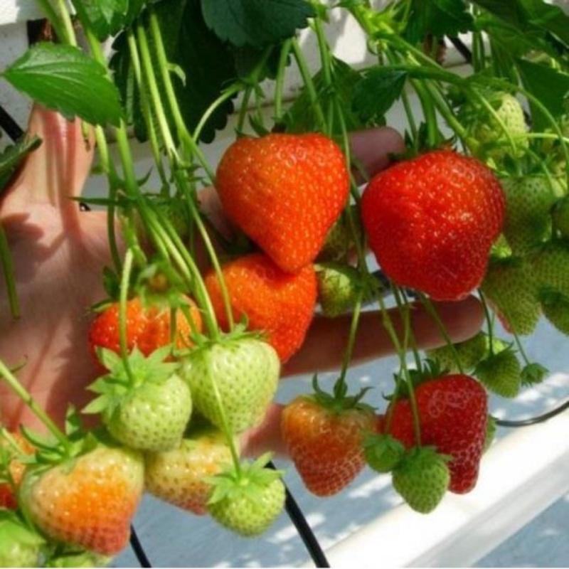 Hạt giống Dâu tây đỏ - Giống chất lượng cao, sai quả