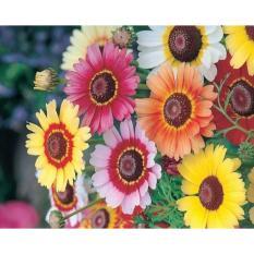 Hạt giống hoa cúc chi hỗn hợp Mix màu