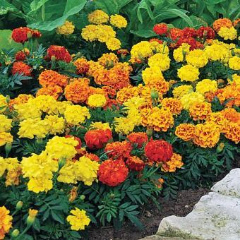 Hạt Giống Hoa Cúc Vạn Thọ Pháp