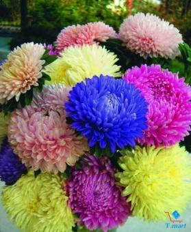 Hạt giống hoa Cúc xù Astra