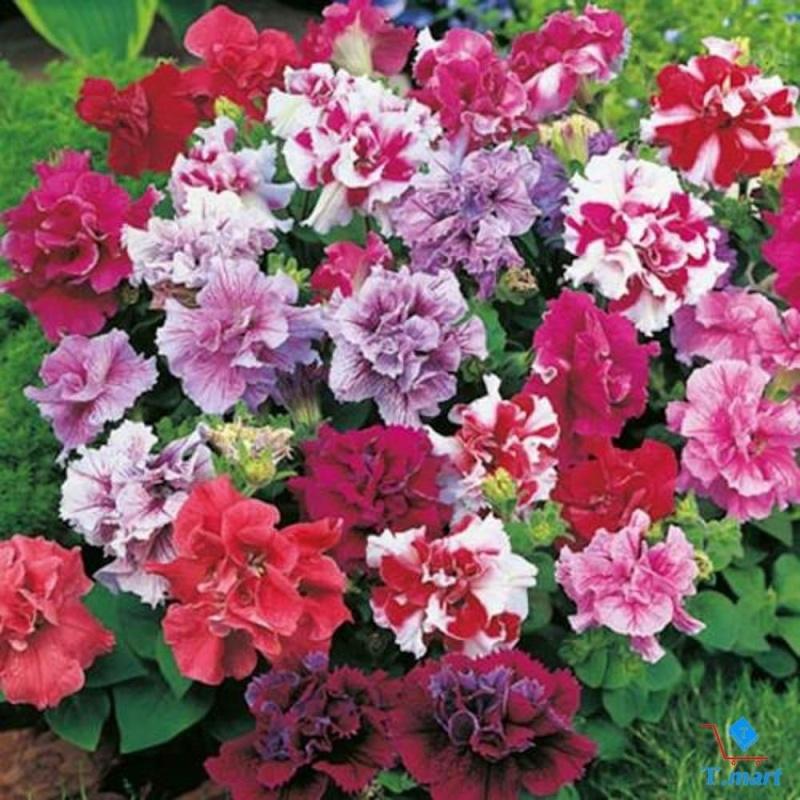 Hạt giống hoa Dạ Yến Thảo kép Mix