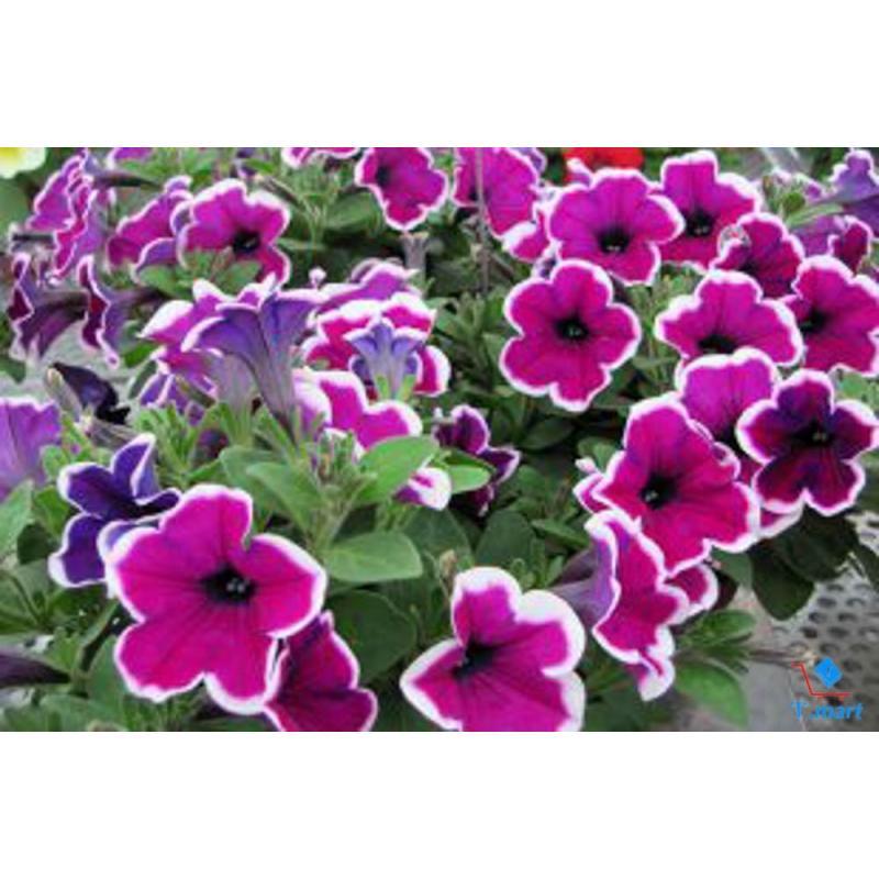 Hạt giống hoa Dạ Yên Thảo viền Mix