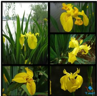 Hạt giống hoa diên vĩ vàng