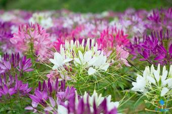 Hạt giống hoa Hồng Ri (Túy Điệp) Mix
