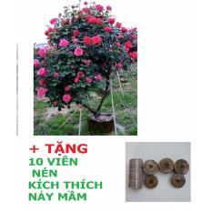 Hạt Giống Hoa Hồng Thân Gỗ (5 HẠT) + Tặng 10 viên nén kích thích nảy mầm