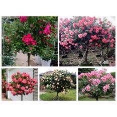 Hạt giống Hoa hồng thân gỗ - Tree Rose - Gói 10 hạt