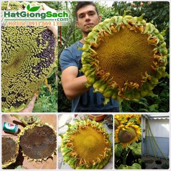 Hạt giống hoa hướng dương khổng lồ 10 hạt - Hạt giống sạch