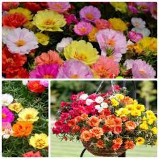 Hạt giống hoa mười giờ kép (Mỹ) 322HGVH1987