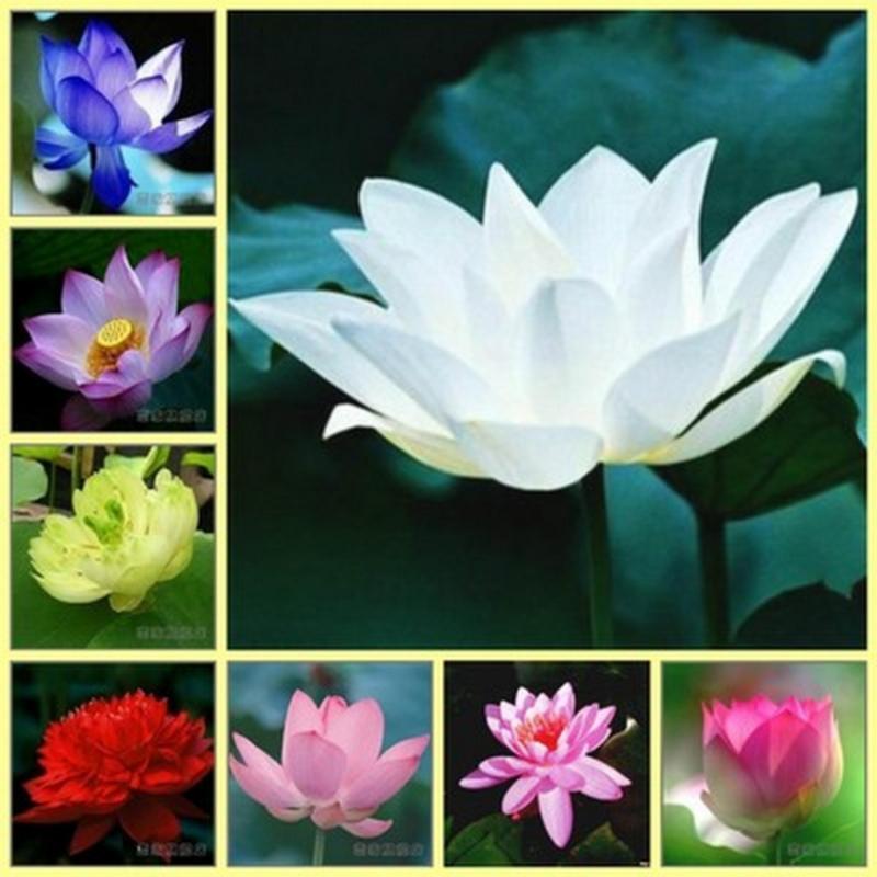 Hạt giống hoa sen nước mini Nhật Bản 6 hạt 6 màu khác nhau