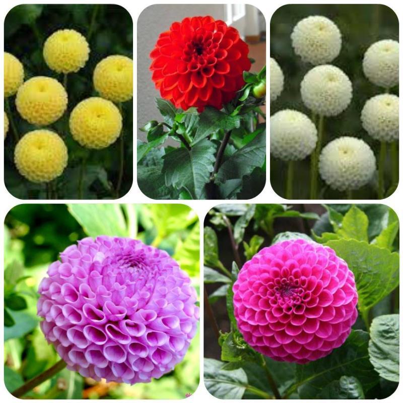 Hạt giống hoa Thược Dược tổ ong Mix