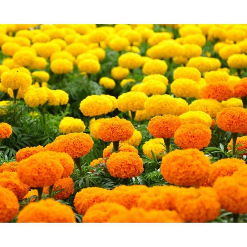 Hạt giống hoa vạn thọ mỹ gói nhỏ nhiều màu