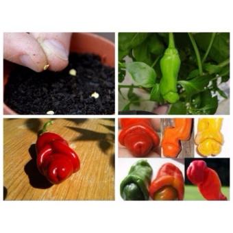 Hạt giống ớt Cu Tí - Ớt Peter (5 hạt) - 5