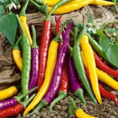 Hạt giống Ớt đậu đũa - Tặng kèm một viên kích thích nảy mầm