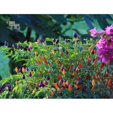 Hạt giống Ớt kiểng bảy màu - Tặng kèm một viên kích thích nảy mầm