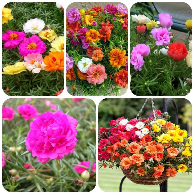 Hoa mười giờ Hương Nông 11 - 0.3g
