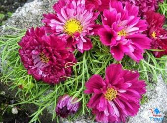 Hạt giống hoa Sao Nhái kép Mix (trắng/hồng)