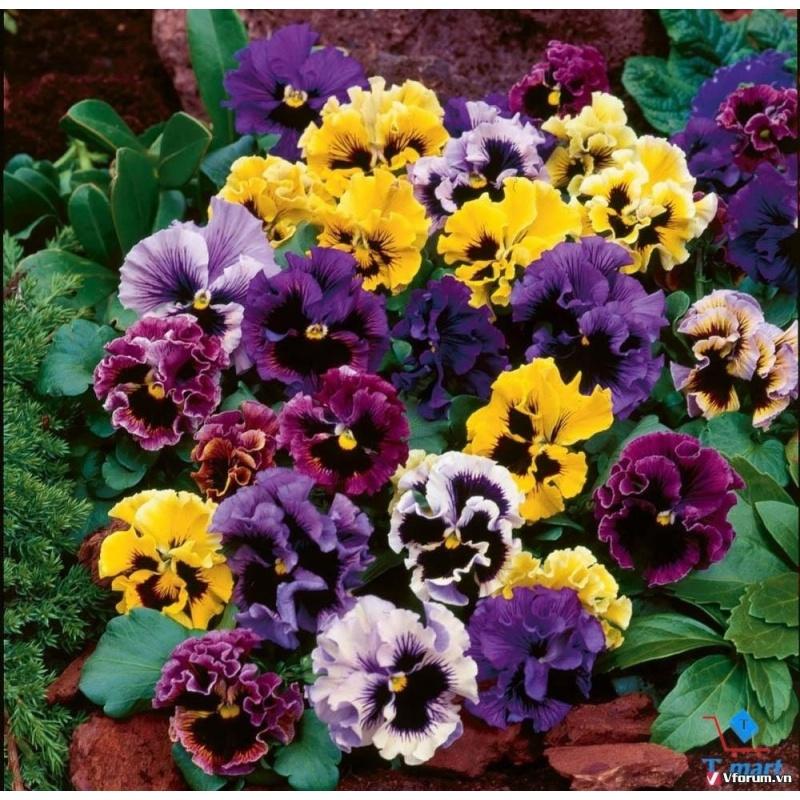 Pansy, Păng xê, Viola nhăn Mix + Tặng 01 gói hạt giống hoa hồng leo pháp