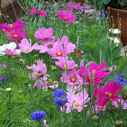 hạt giống hoa sao nhái ở hà nội