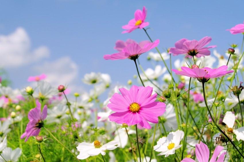 kỹ thuật trồng và chăm sóc hoa sao nhái