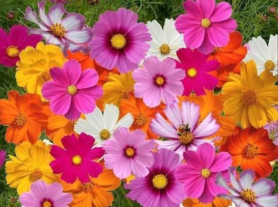 hạt giống hoa sao nhái tại đà nẵng
